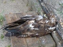 干草原老鹰是一只骄傲和独立鸷 免版税库存照片