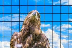 干草原老鹰的画象 遭受在囚禁的一只野生鸷的概念 库存照片