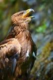 干草原老鹰(天鹰座nipalensis) -纵向。 免版税库存照片