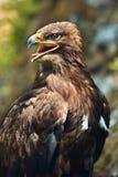 干草原老鹰(天鹰座nipalensis) -纵向。 免版税库存图片