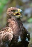 干草原老鹰(天鹰座nipalensis) -纵向。 库存图片