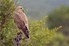 干草原肉食(鵟鸟vulpinus) 库存图片