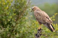 干草原肉食(鵟鸟vulpinus) 库存照片