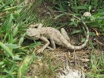 干草原蜥蜴在Talimarjon,乌兹别克斯坦附近的黏土沙漠 2014年4月8日 免版税库存图片