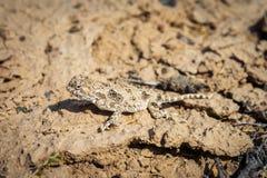 干草原蜥蜴 库存图片