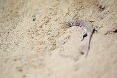 干草原赛跑者蜥蜴 免版税图库摄影