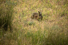 干草原野兔 免版税库存图片