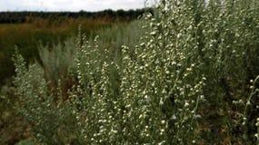 干草原长满与蒿木 免版税图库摄影