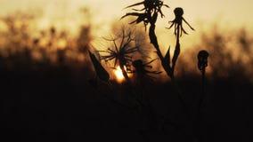 干草和花等高在日落背景 股票录像