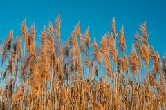 干草在蓝天背景的日落阳光下 美丽的野生植物 库存图片
