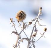 干草在雪的冬天 干植被 33c 1月横向俄国温度ural冬天 Frozenned草 选择聚焦 库存照片