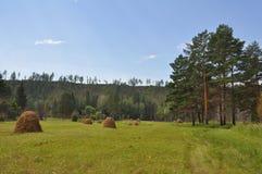 干草堆在森林沼地 库存图片