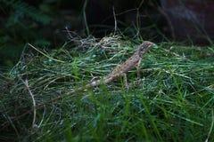 干草堆的吉拉泰国 免版税库存图片