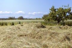 干草干燥 免版税图库摄影