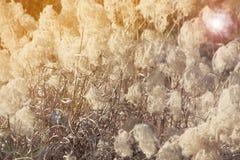 干草开花有阳光和火光光的,草甸冬天背景植物 库存照片