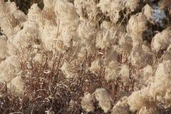 干草开花植物,草甸冬天背景 免版税库存照片
