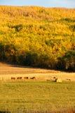 干草捆和肉用牛在秋天 库存照片