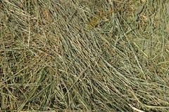 干草用谷物其他野生草地早熟禾 库存图片