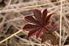 干草背景的红色植物  免版税库存图片