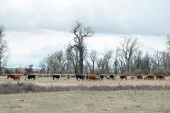 干草被喂养的赫里福德牛 免版税库存图片