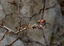 干莓果或野玫瑰果在细长的分支 库存照片