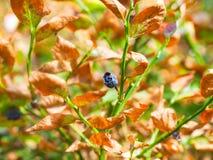 干蓝莓植物 免版税库存图片