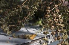 干蓬蒿草本在桌放置 在棕色颜色的背景 库存照片