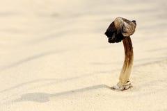 干蘑菇沙子 库存照片
