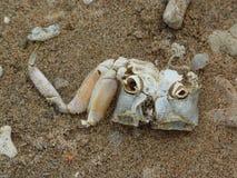 干螃蟹骨骼 免版税库存图片
