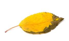 干被染黄的秋天叶子 免版税图库摄影