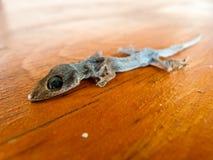 干议院蜥蜴 图库摄影