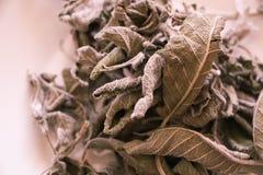 干贤哲在白色留给Salvia officinalis被隔绝 库存照片