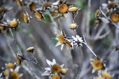 干金币雏菊花在庭院里,秋天季节,兰扎 免版税库存图片