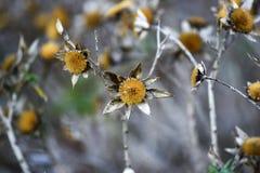 干金币雏菊花在庭院里,秋天季节,兰扎 图库摄影