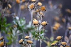 干金币雏菊花在庭院里,秋天季节,兰扎 免版税库存照片