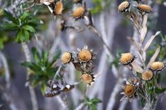 干金币雏菊花在庭院里,秋天季节,兰扎 库存照片