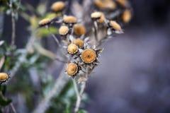 干金币雏菊花在庭院里,秋天季节,兰扎 库存图片