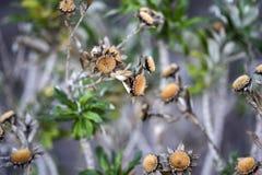 干金币雏菊花在庭院里,秋天季节,兰扎 免版税图库摄影