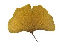 干银杏树叶子 库存图片