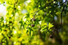 干阿纳托利安sweetgum胶皮糖香树orientalis水果树 选择聚焦在果子和部分地在叶子 库存图片