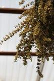 干香蜂草 库存照片