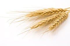 干黑麦 免版税库存图片