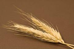 干黑麦 库存图片