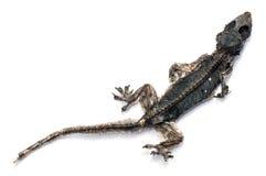 干死的小蜥蜴 免版税库存图片