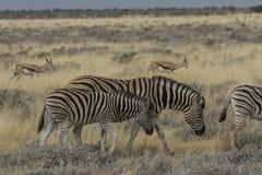 平原吃草在埃托沙国家公园,纳米比亚的斑马母亲和驹 库存照片