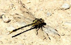 平原在地面的Clubtail蜻蜓 库存照片