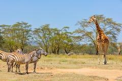 平原斑马和Rothschild长颈鹿,纳库鲁湖,肯尼亚 免版税库存照片
