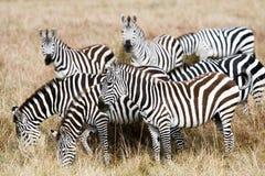 平原斑马牧群吃草在非洲大草原的 免版税库存图片