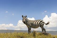 平原斑马(马属拟斑马)从下面 免版税库存图片