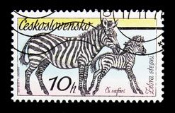 平原斑马(马属拟斑马),捷克斯洛伐克的徒步旅行队serie,大约19 免版税库存图片